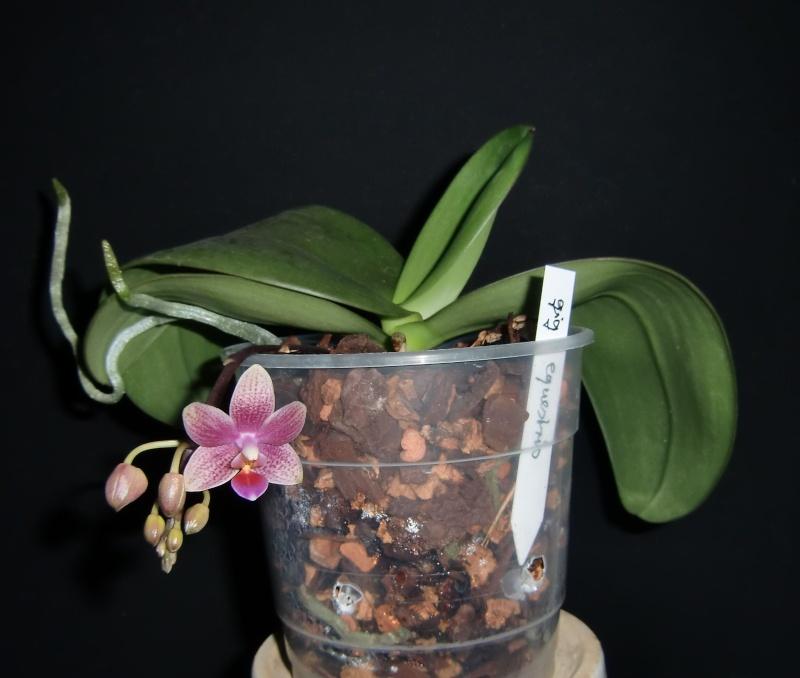 Phalaenopsis Bernice Maskin (gigantea x equestris) 01310