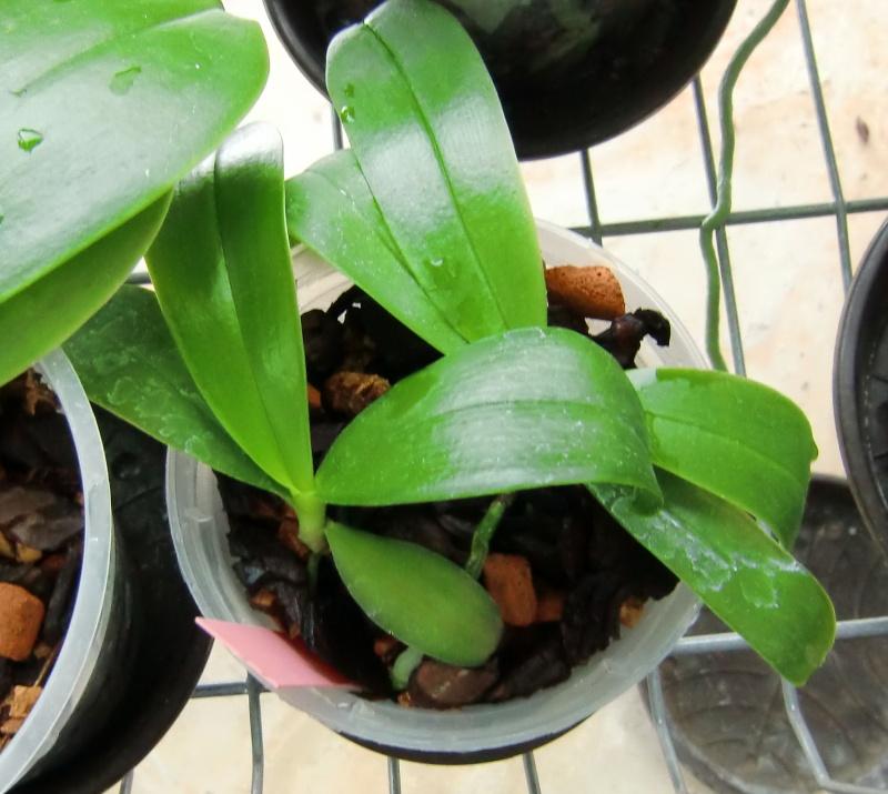 Der Werdegang einer Phalaenopsis/Von der Bestäubung bis zur fertigen Pflanze Baby310