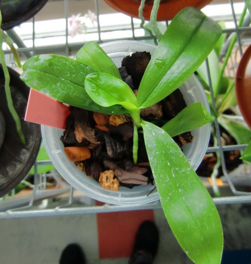Der Werdegang einer Phalaenopsis/Von der Bestäubung bis zur fertigen Pflanze Baby410