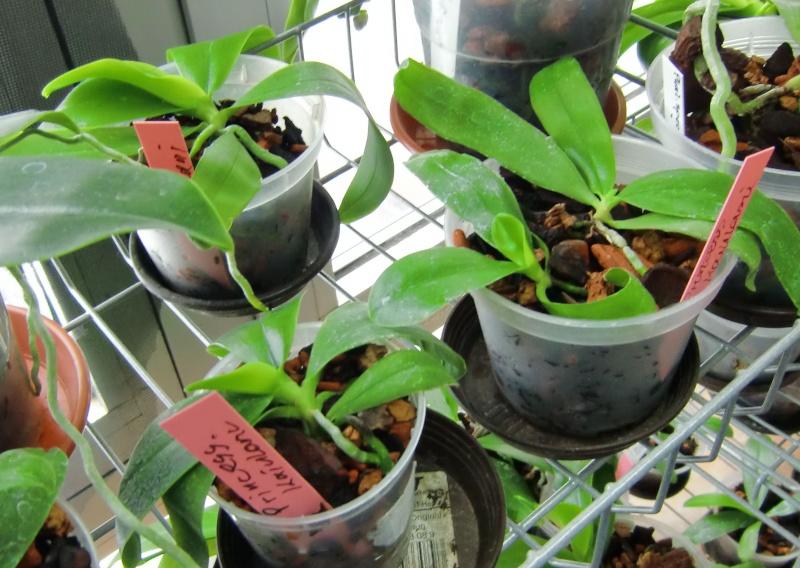 Der Werdegang einer Phalaenopsis/Von der Bestäubung bis zur fertigen Pflanze Baby510