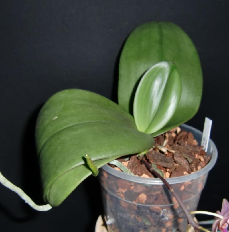 Phalaenopsis Bernice Maskin (gigantea x equestris) Bm10