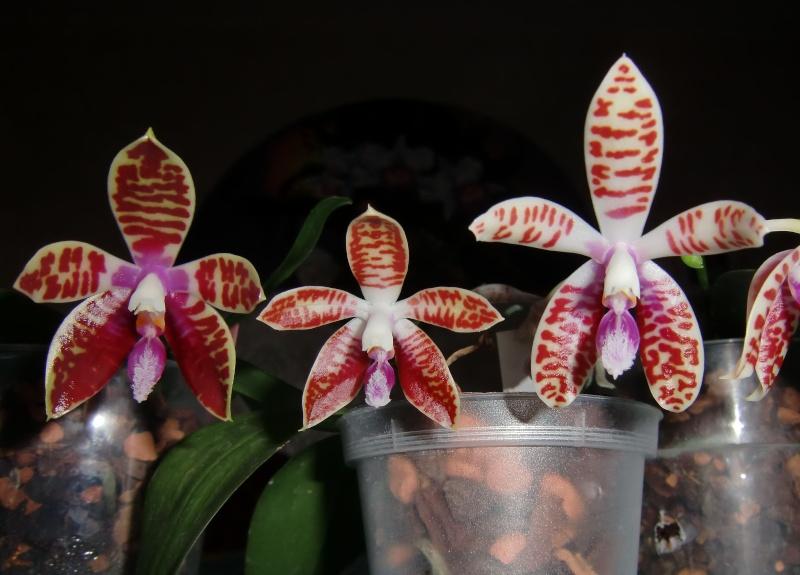 Phalaenopsis corningiana Cornit10