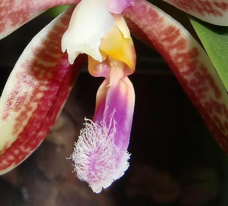 Phalaenopsis Corning´s Violet x Penang Girl Cvxpgl10