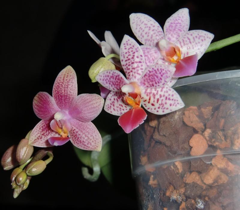 Phalaenopsis Bernice Maskin (gigantea x equestris) Duo10