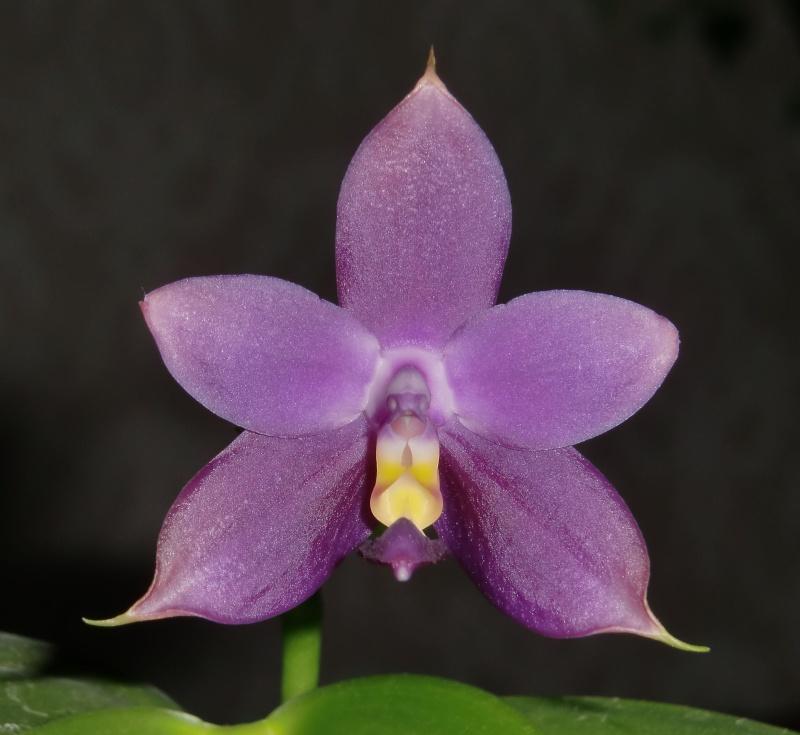 Phalaenopsis violacea 'Rachel's blue eyes' x 'Gulfstream blue', Selbstung Erster10