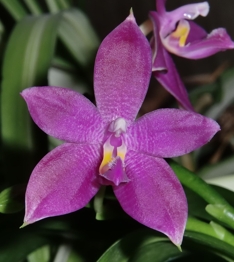 Phalaenopsis Germain Vincent (violacea 'dark red' x speciosa) Germai11