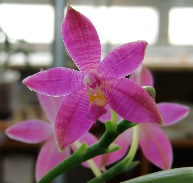 Phalaenopsis Germain Vincent (violacea 'dark red' x speciosa) Germai15