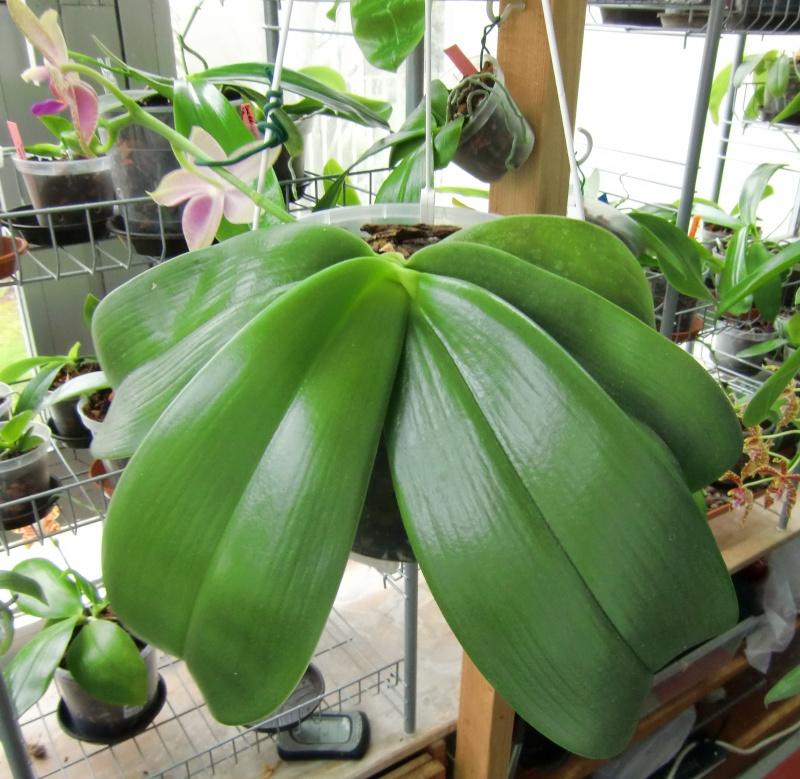 Phalaenopsis gigantea Kreuzungen..... Gigabe10