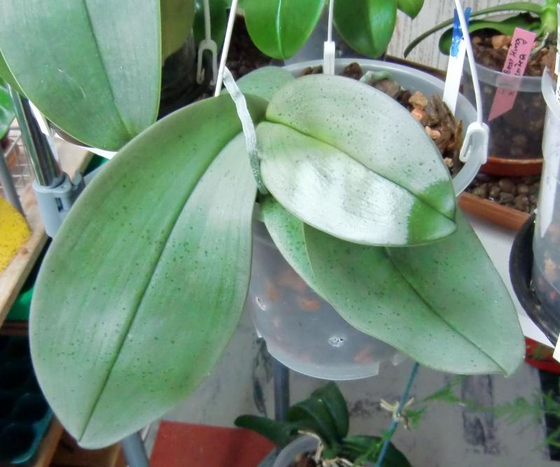 Phalaenopsis gigantea Kreuzungen..... Gigaxb10
