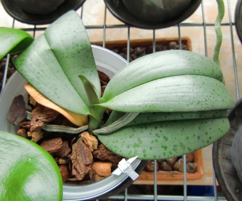 Phalaenopsis gigantea Kreuzungen..... Gigaxl10
