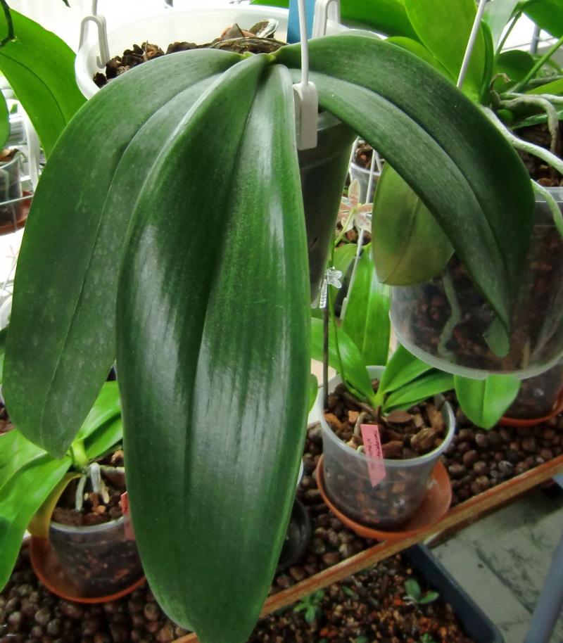 Phalaenopsis gigantea Kreuzungen..... Gigaxs10