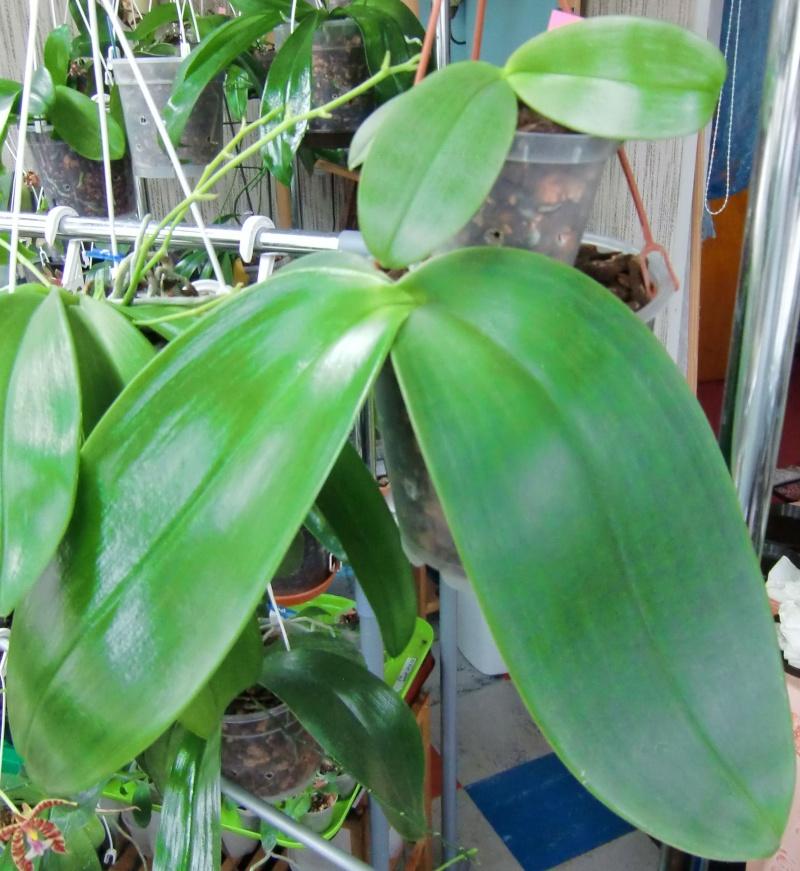 Phalaenopsis gigantea Kreuzungen..... Gigmcy10