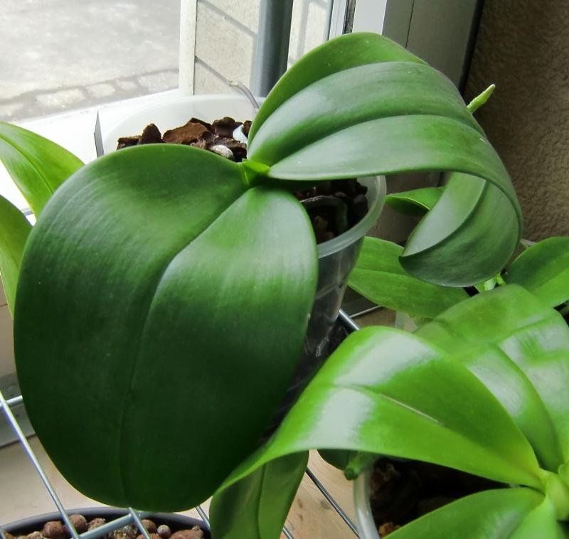 Phalaenopsis gigantea Kreuzungen..... Gigxeq10