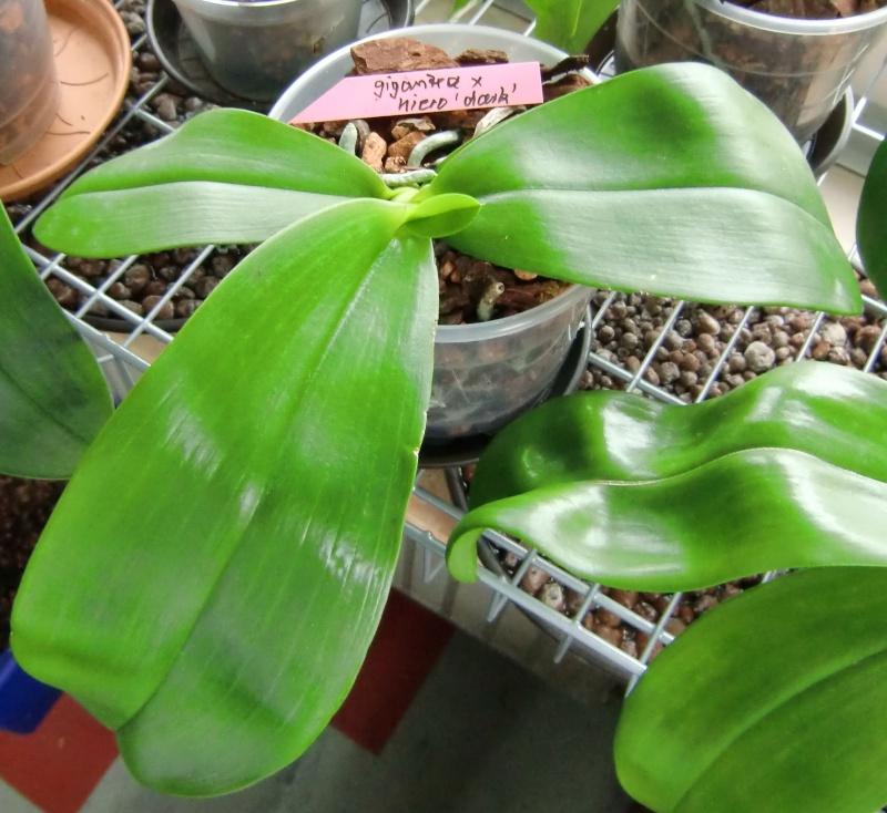 Phalaenopsis gigantea Kreuzungen..... Gigxhi10