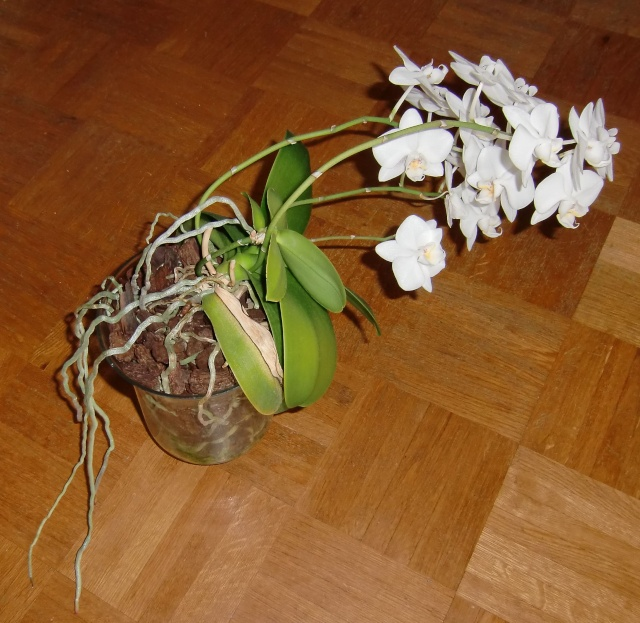 phalaenopsis in vase?  Glas110