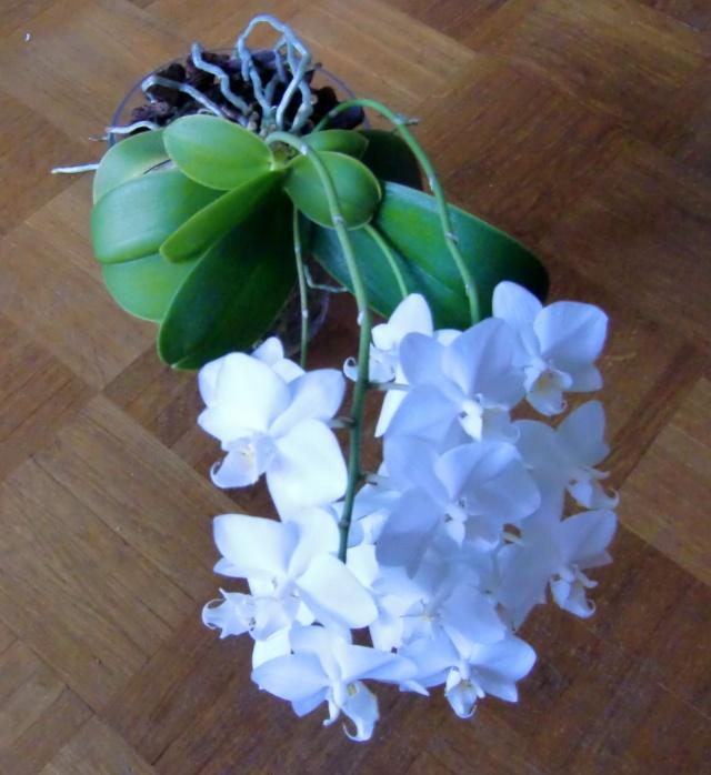 phalaenopsis in vase?  Glas210