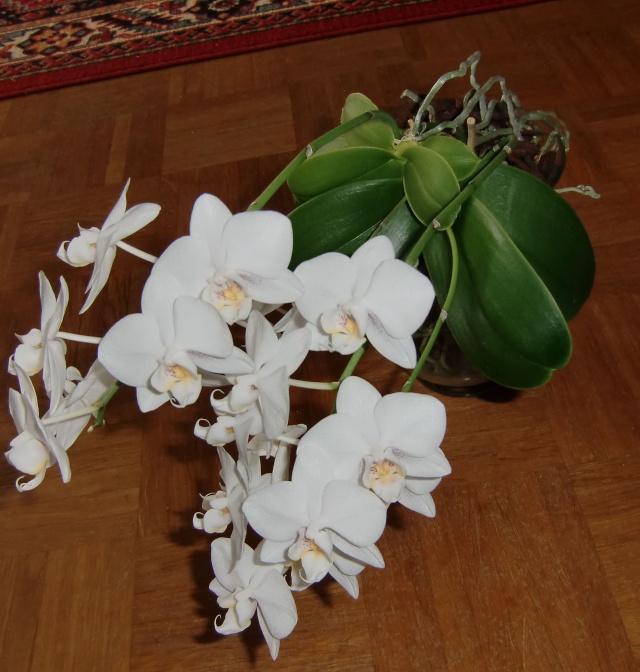 phalaenopsis in vase?  Glas310
