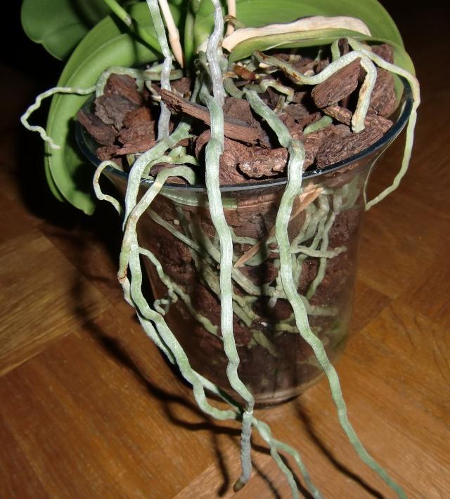 phalaenopsis in vase?  Glas410