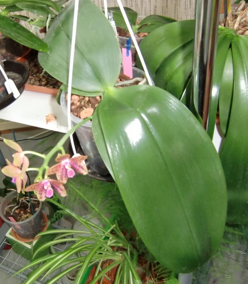 Phalaenopsis gigantea Kreuzungen..... Ldsxgi11