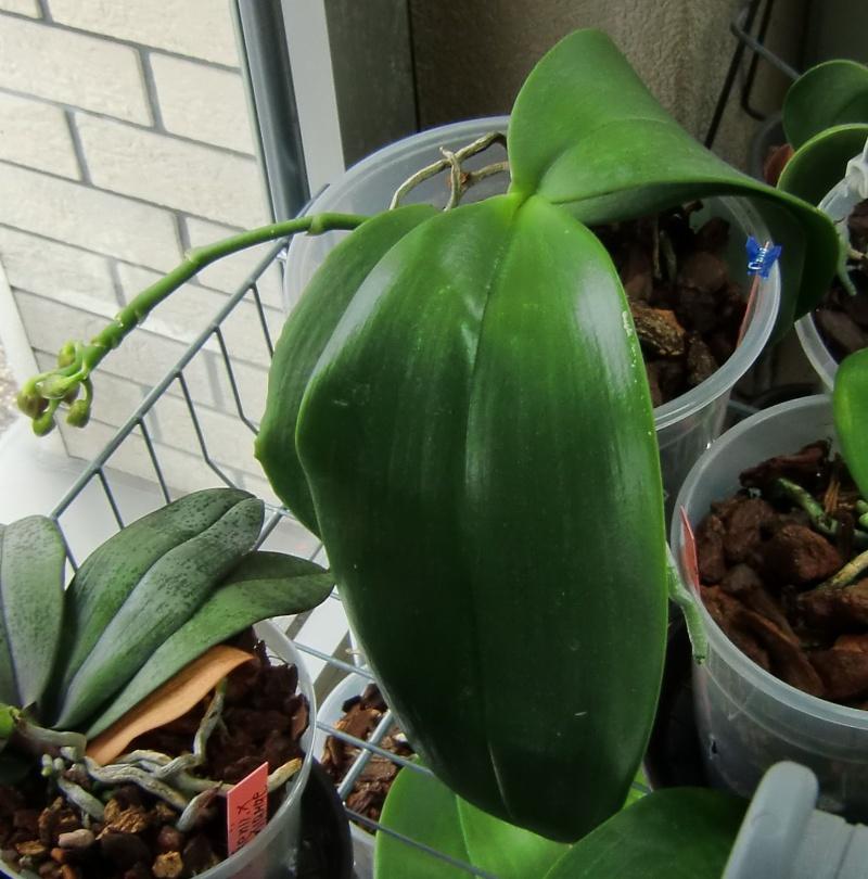 Phalaenopsis gigantea Kreuzungen..... Ldsxgi13
