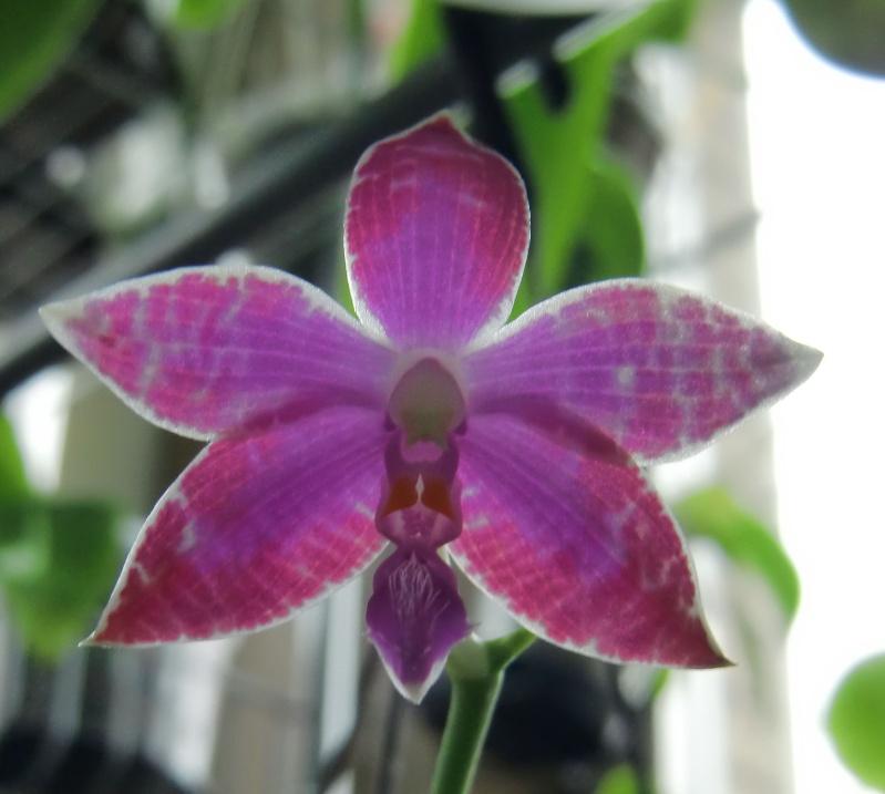 Phalaenopsis lueddemanniana....eine Zicke? Mitnichten! Luedde10