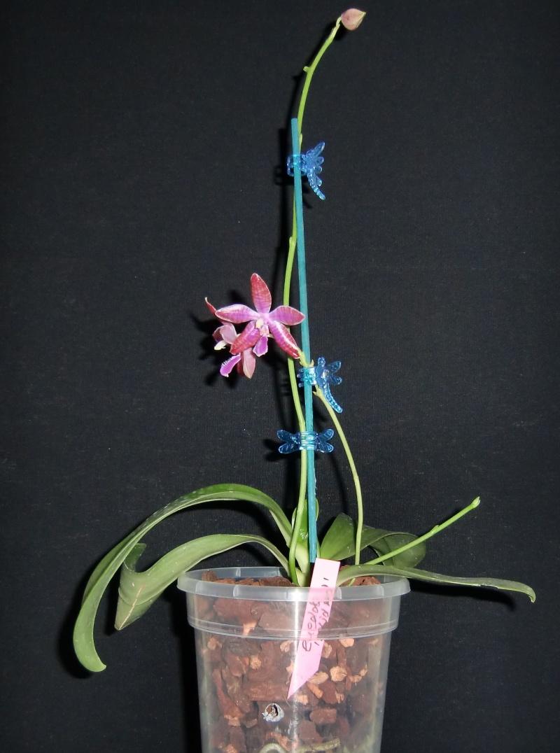 Phalaenopsis lueddemanniana....eine Zicke? Mitnichten! Luedde13