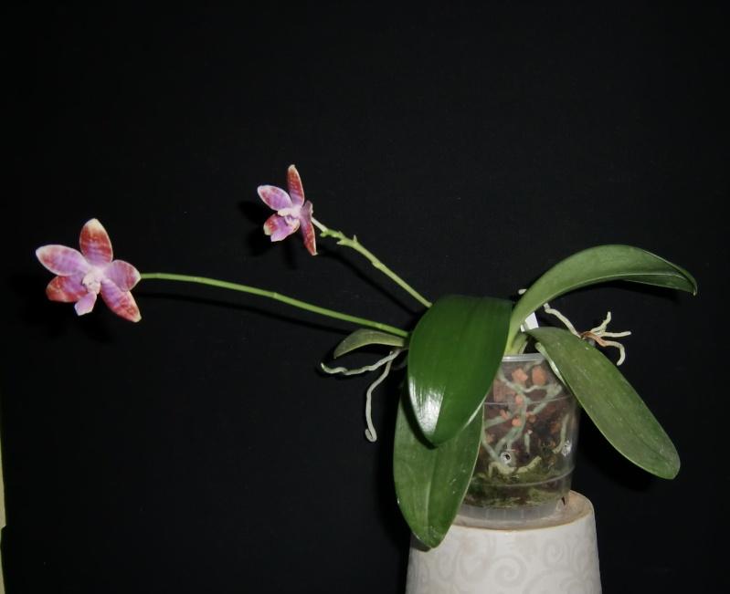 Phalaenopsis lueddemanniana....eine Zicke? Mitnichten! Luedde15