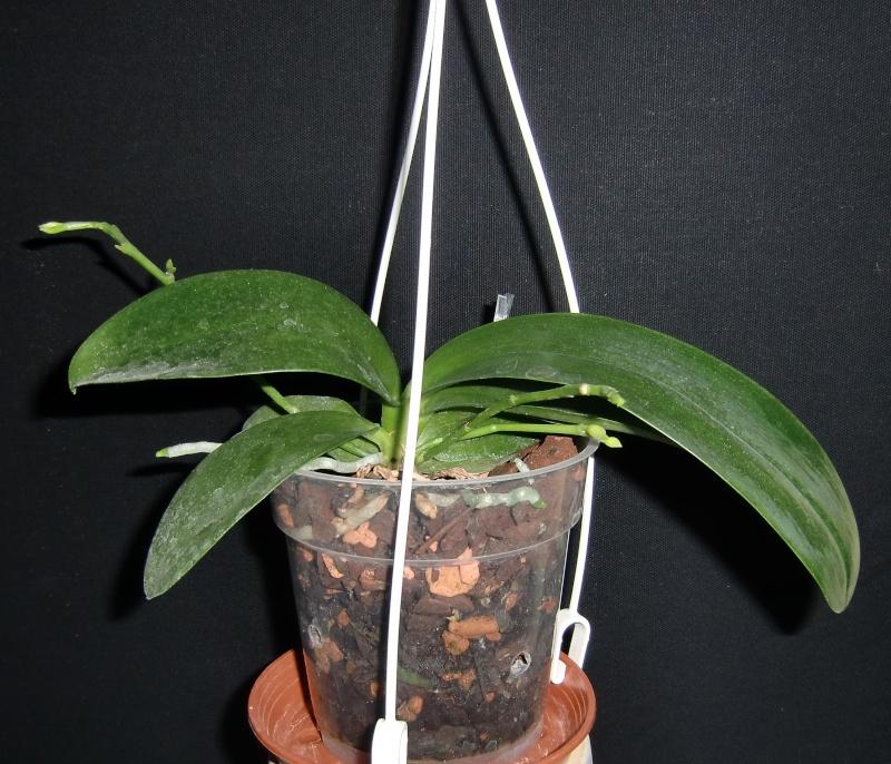 Phalaenopsis lueddemanniana....eine Zicke? Mitnichten! Luedde16