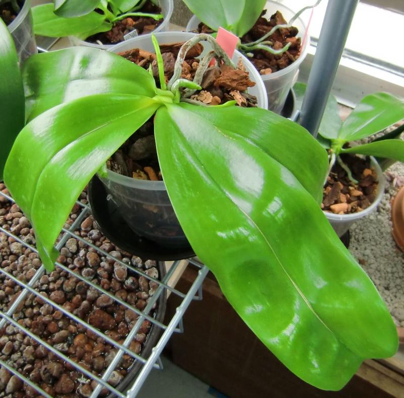 Phalaenopsis gigantea Kreuzungen..... Mannii10