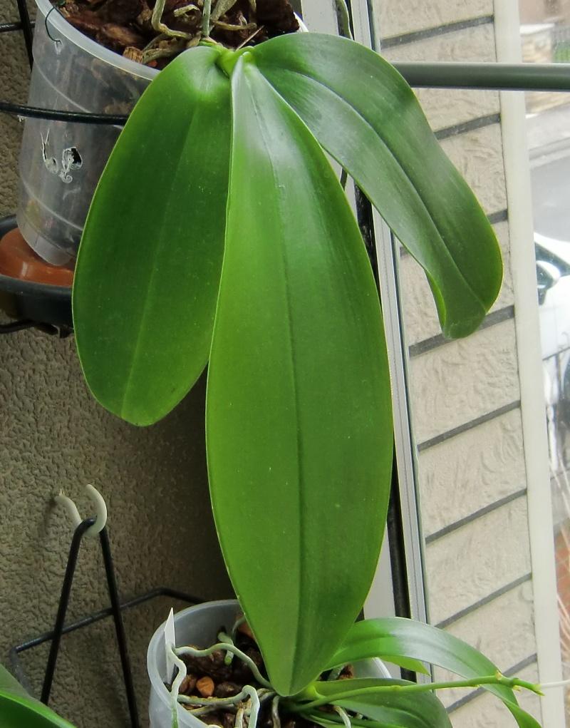Phalaenopsis gigantea Kreuzungen..... Mcy10