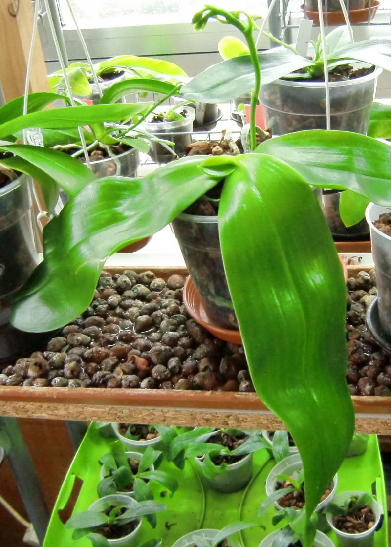 Phalaenopsis gigantea Kreuzungen..... Mcy110