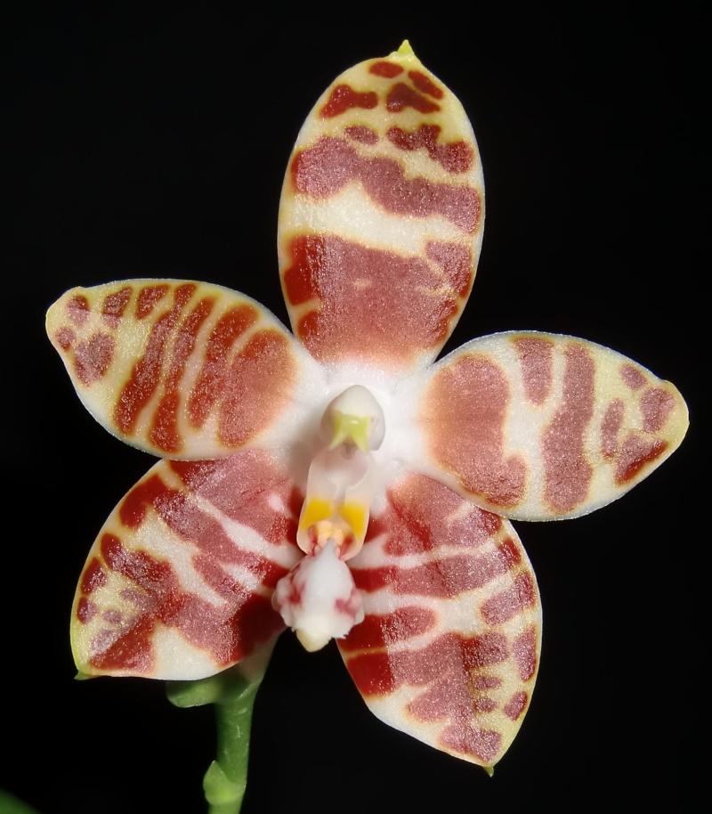 Phalaenopsis amboinensis Nicole11