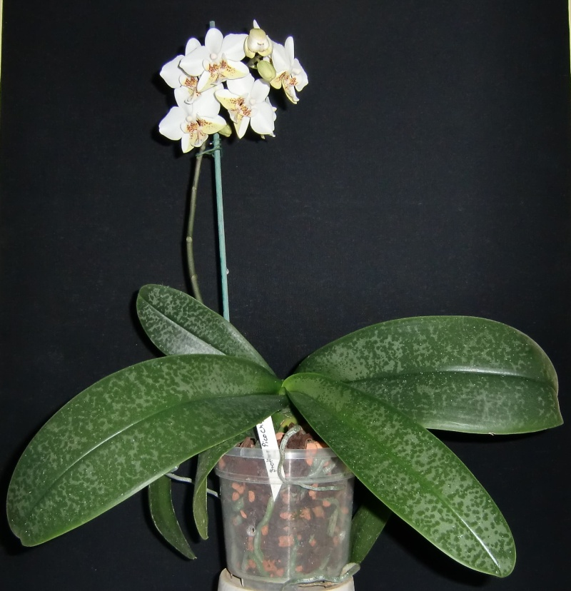 Phalaenopsis Brother Pico Chip Pico110