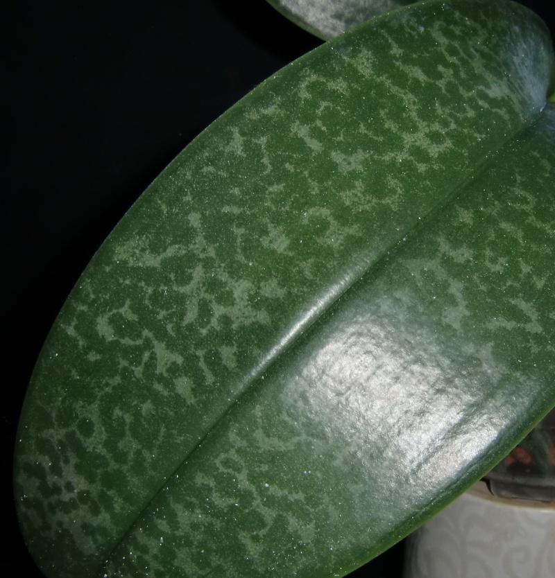 Phalaenopsis Brother Pico Chip Pico210