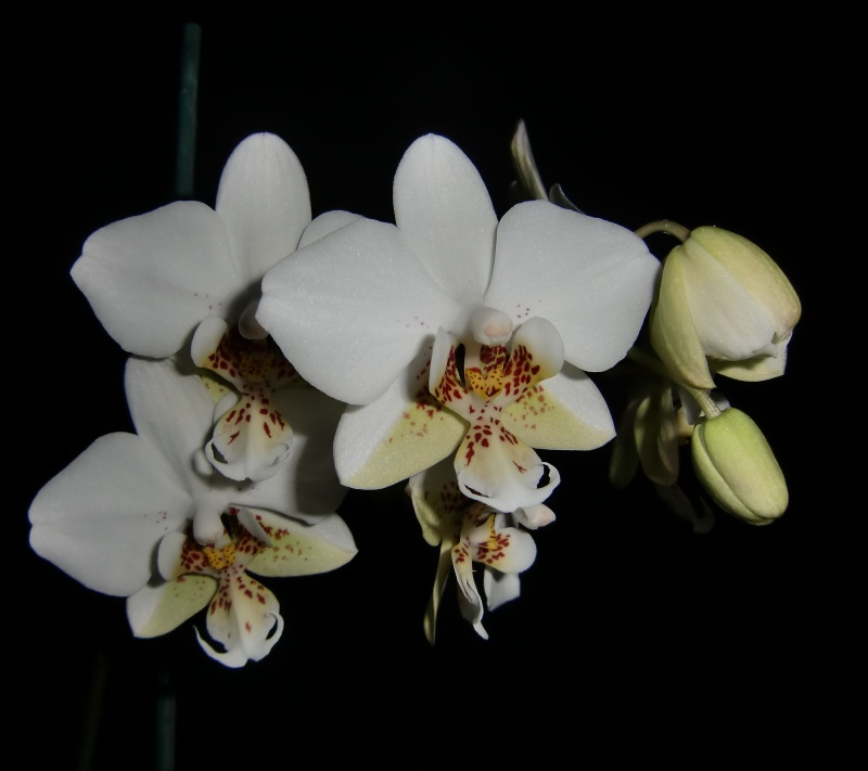 Phalaenopsis Brother Pico Chip Pico310