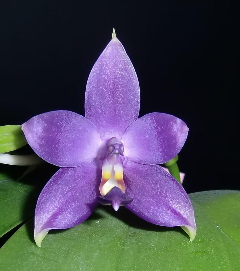 Phalaenopsis violacea 'Rachel's blue eyes' x 'Gulfstream blue', Selbstung Sanne11