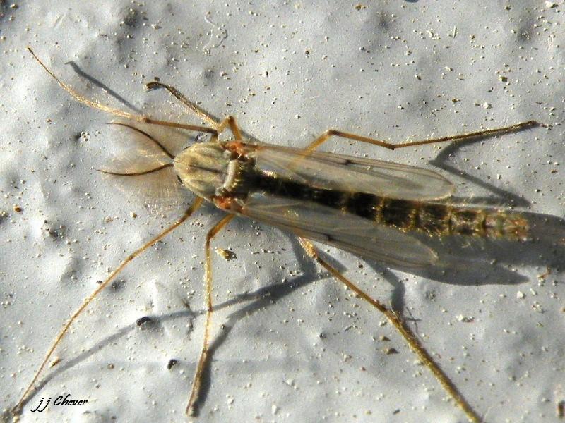 moustique à plumes Dipter10