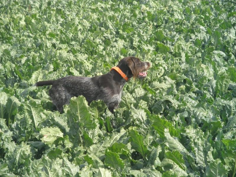 photos de chiens d'arrêt prises a l'arrêt sur gibier  P9150110