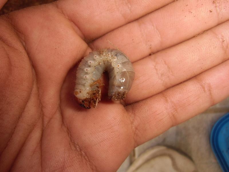 des larves Cimg1214