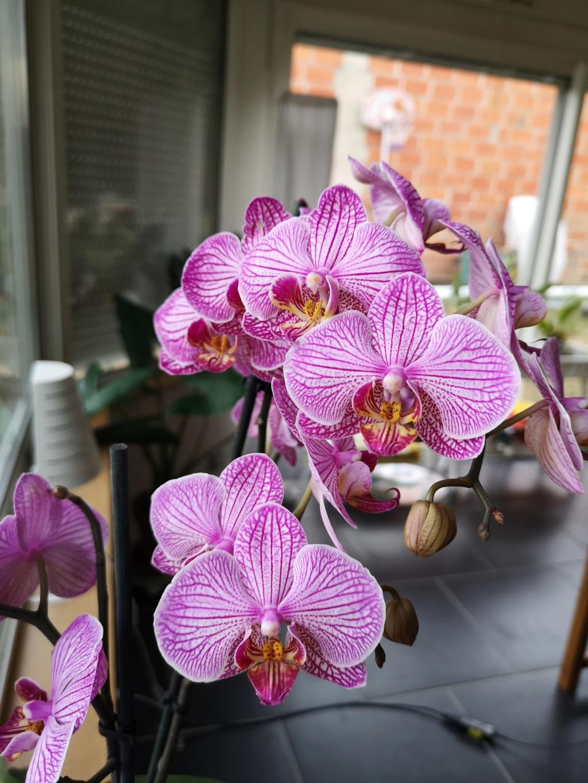 Floraison de phalaenopsis hybride Img_1013
