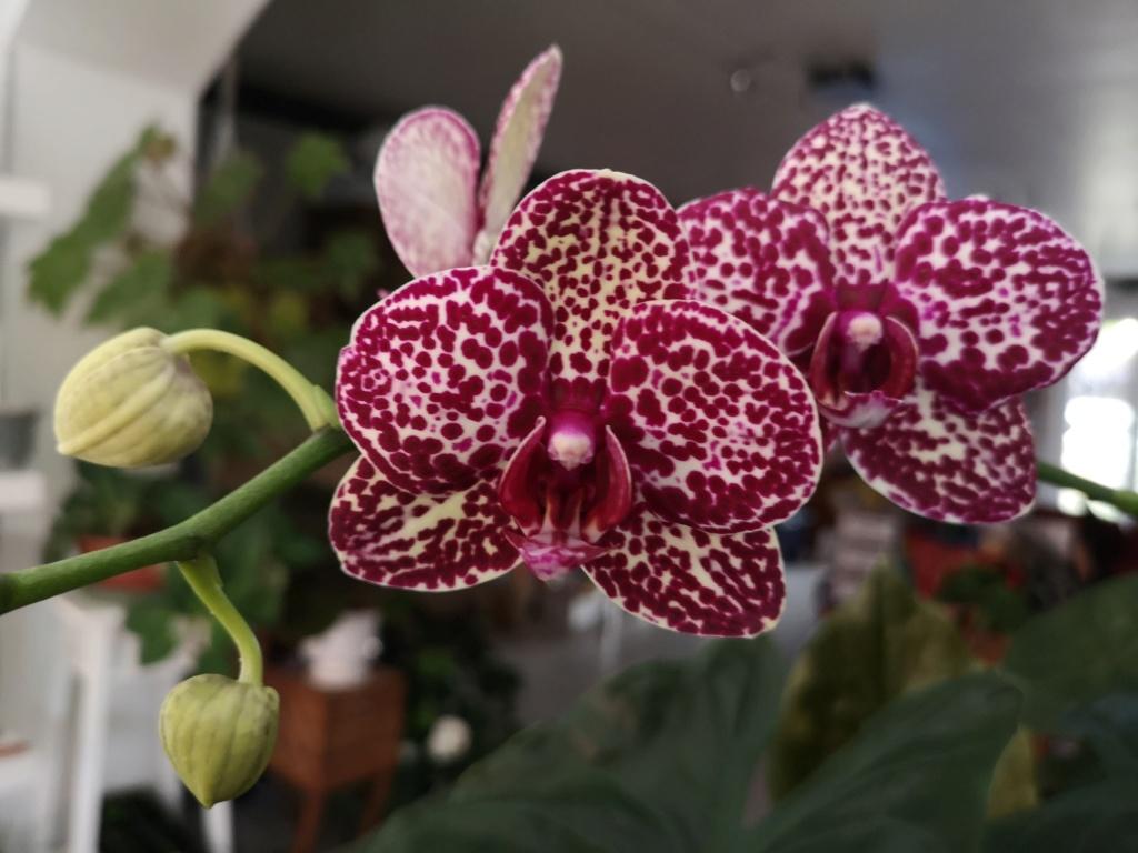 Floraison de phalaenopsis hybride Img_1016