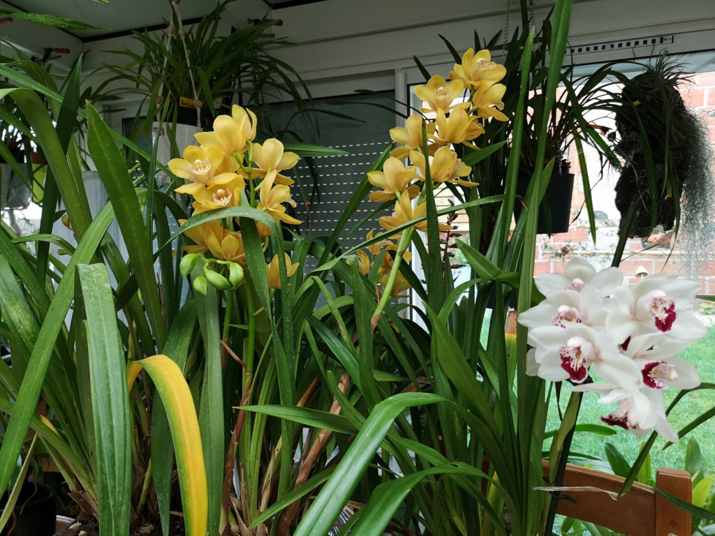 floraison de cymbidium Img_1114
