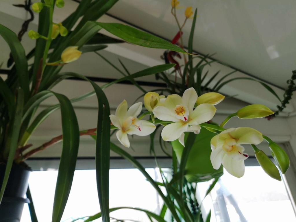floraison de cymbidium Img_1116