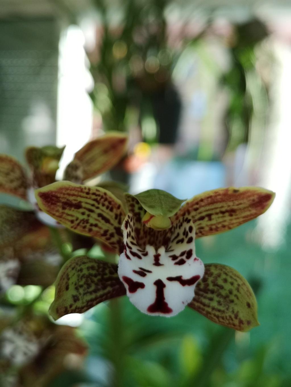 floraison de cymbidium Img_1120