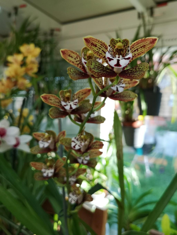 floraison de cymbidium Img_1121