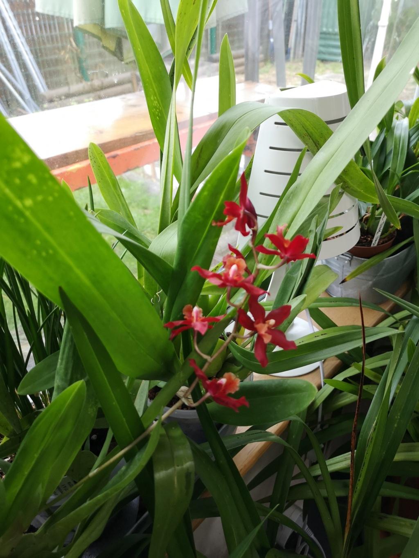 Odontoglossum rouge Img_1122