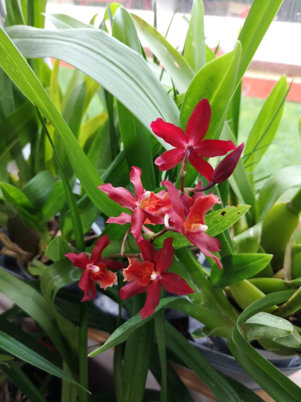 Odontoglossum rouge Img_1123