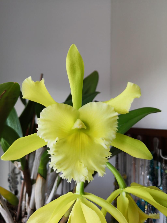 Cattleya hybride vert Img_1126