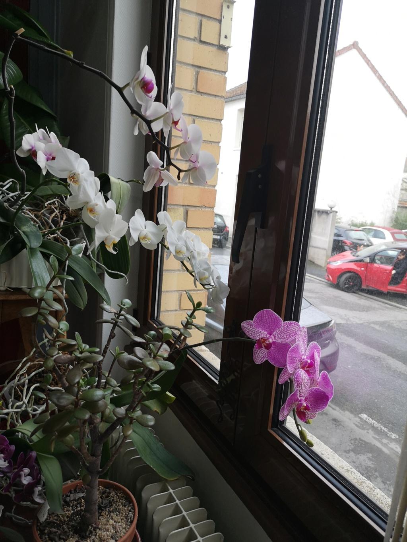 phalaenopsis au bureau - Page 2 Img_1145