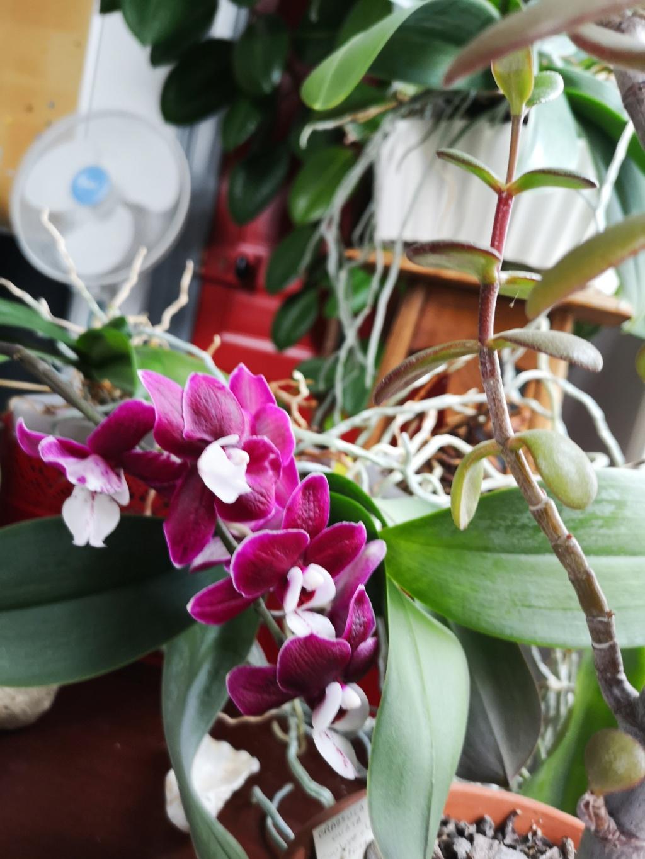 phalaenopsis au bureau - Page 2 Img_1147